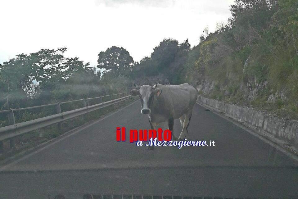 """Mucche al """"pascolo"""" sulla Provinciale per Montecassino, rischio incidenti"""