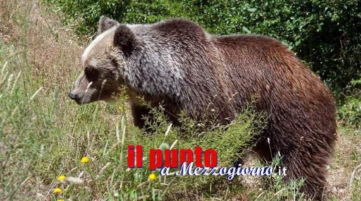 Faccia a faccia con l'orso marsicano, escursionisti (ed orso) terrorizzati a Filettino