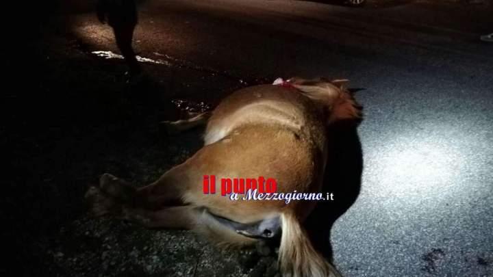 Cavallo giustiziato a colpi di pistola a Collepardo, indagini in cors