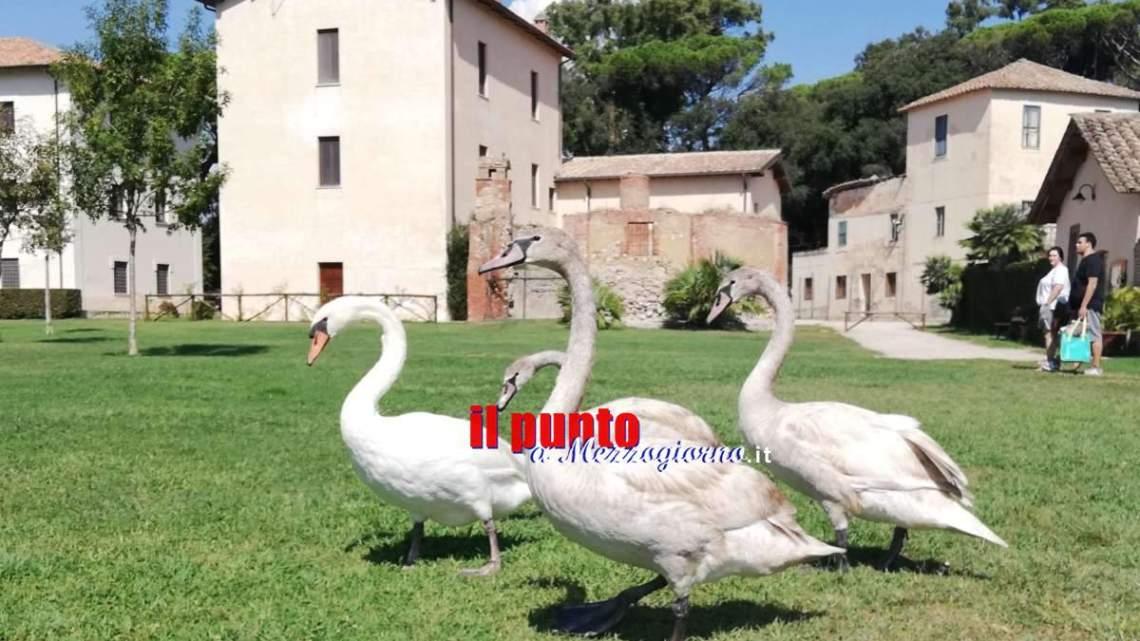 """Famiglia di cigni """"atterra"""" a Fogliano e lo sceglie per svernare"""