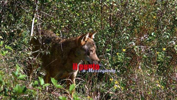 Foto trappole nel Parco Monti Aurunci per studiare i lupi, pronti per la mappatura dei branchi