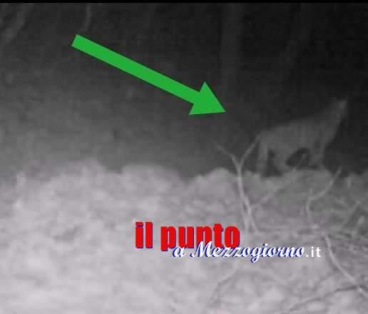 """Un esemplare di gatto selvatico """"immortalato"""" nel Parco dei Monti Aurunci"""