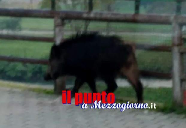 Un grosso cinghiale passeggia lungo viale Di Biasio a Cassino – il Video