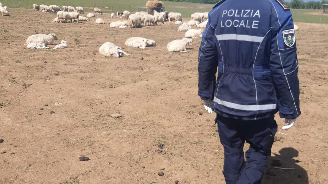Lupi fanno strage di pecore a Sutri, 20 capi sbranati