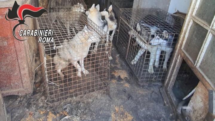 Canile lager in una villa a Ponzano Romano, salvati 110 husky chiusi in gabbie