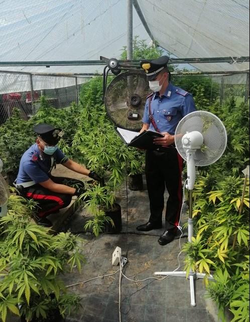 Coltivavano marijuana in serra da destinare allo spaccio, arrestate 3 persone a Pontinia e Sabaudia