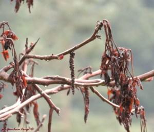 "Le foglie di Noce comune, completamente ""bruciate"" dalla gelata tardiva - foto di Gianluca Congi ©"