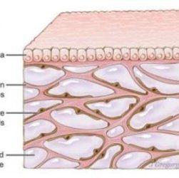 Scoperto un nuovo organo del corpo: l'interstizio