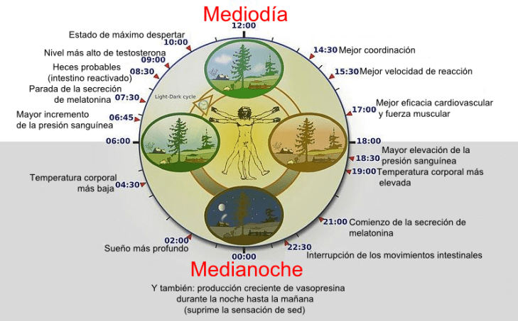 Biological_clock_humanNycthéméralVersion_Español