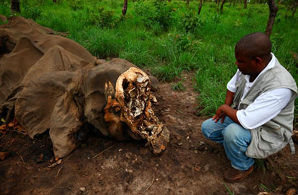 elefante ucciso estinzione
