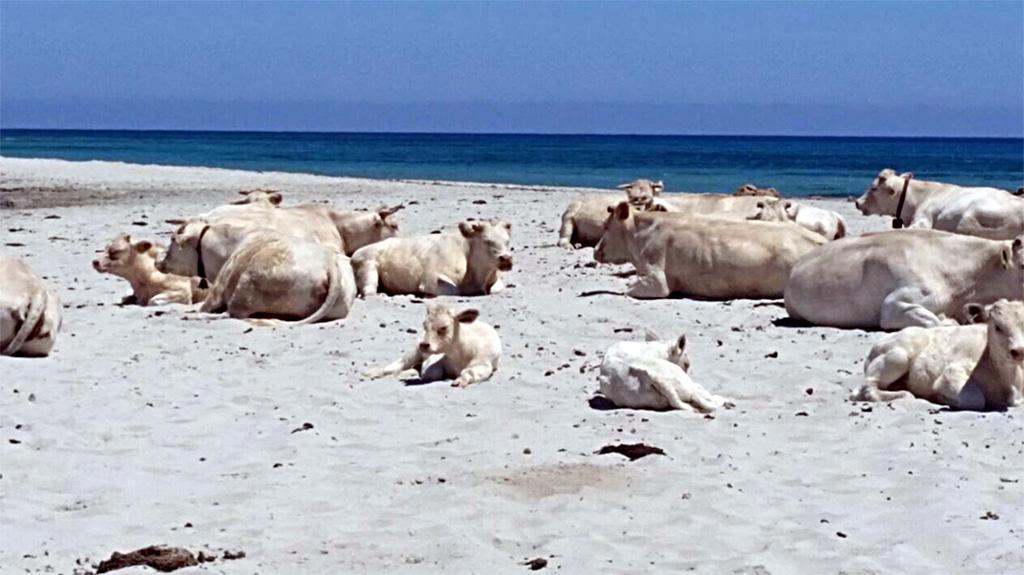 mucche stressate caldo