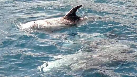 cetacei mediterraneo