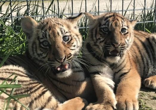 cuccioli di tigre, giornata mondiale tigre
