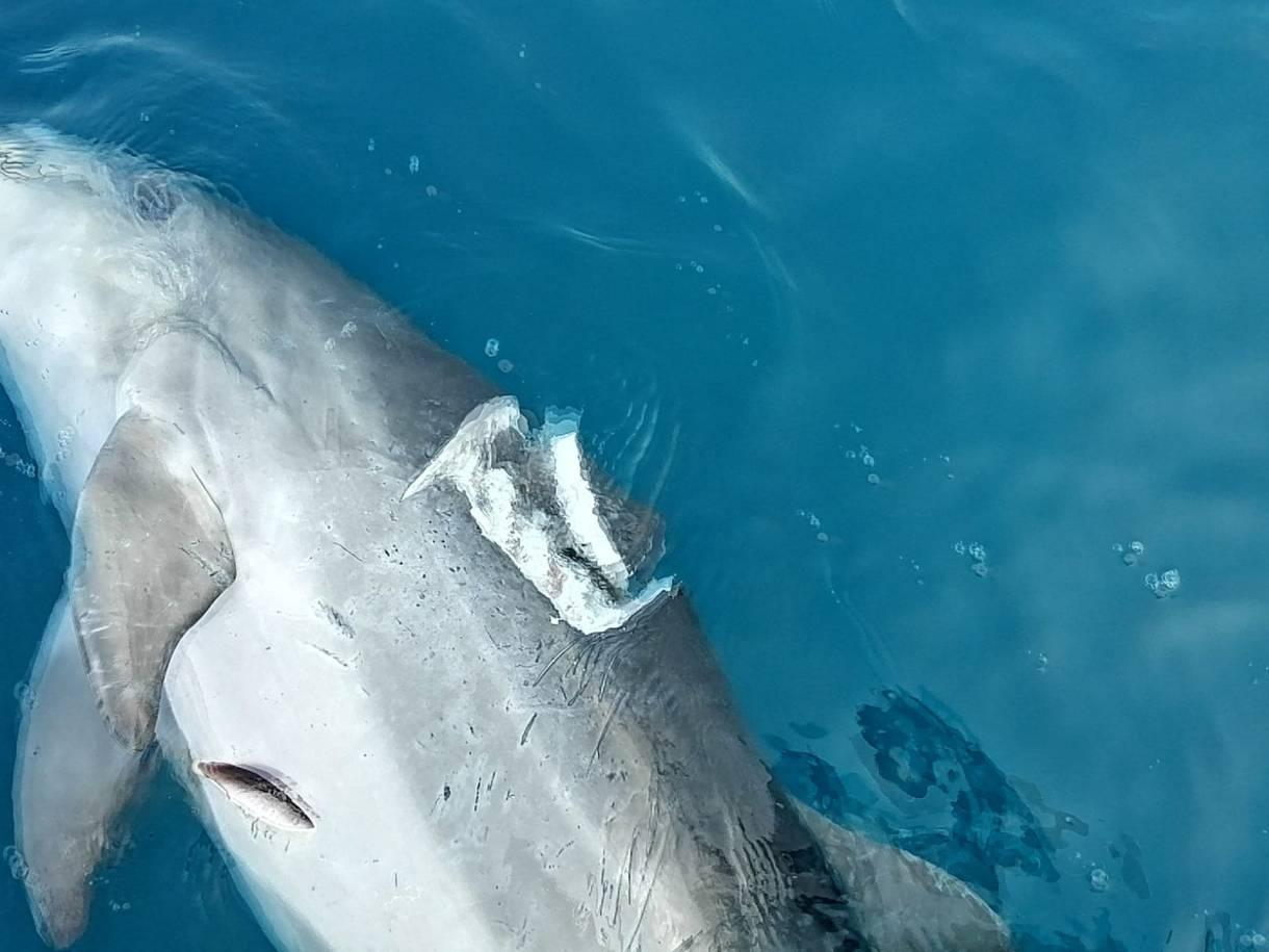 morbillo causa morte delfini