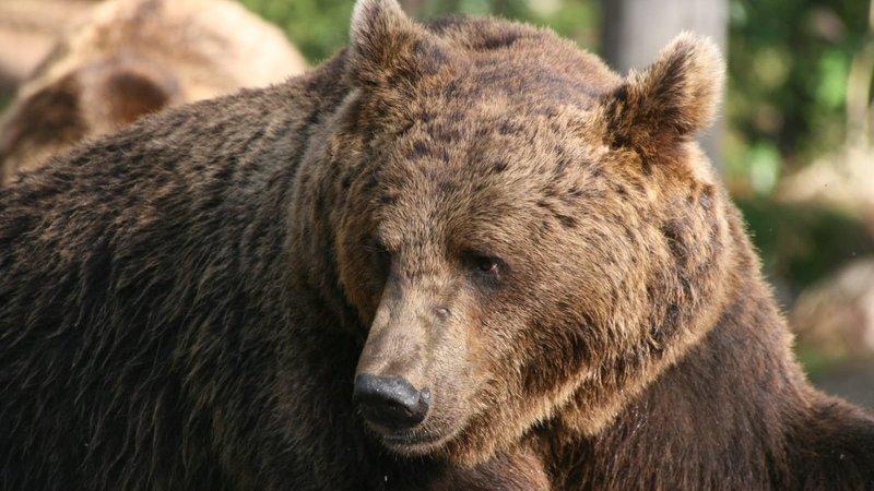 trento orso