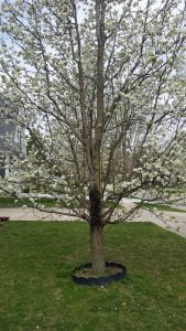 Storm Damage To Pear Tree How To Repair