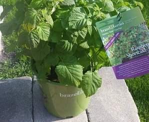 Raspberry plant in pot