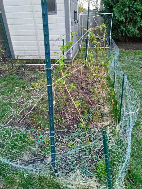 4/21/19 - Sprint 2019. Bare root raspberry canes in full sun area.