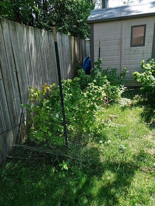 7/28/19 - partial sun Joan J raspberry canes.