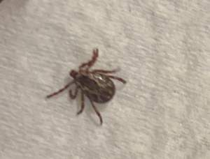 male dog tick