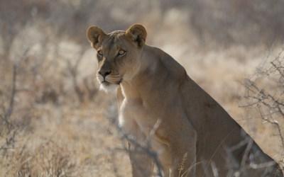 Geobsedeerde leeuwin in de Kalahari in Botswana