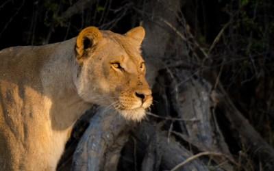Leeuwin klaar voor de aanval in Chobe NP Botswana