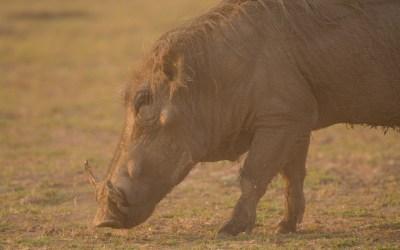 Wrattenzwijn pumba stof zon South Luangwa Zambia