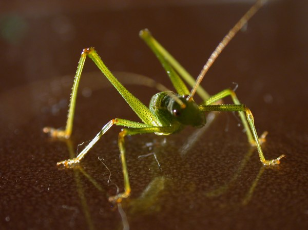 ImageAfter images grasshopper insect green long legs