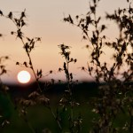 Picture of sunrise through some wildflowers.