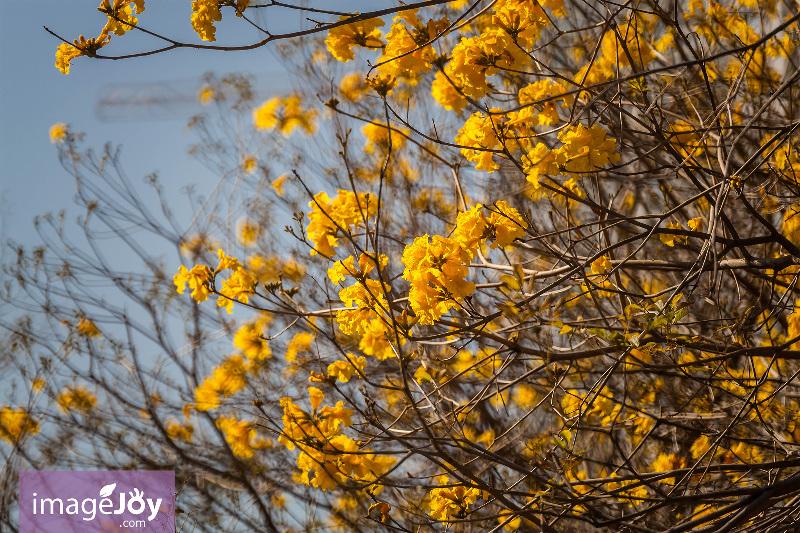 【南昌公園】拍出黃花風鈴木的 12 道風味 - 香港好去處 | 香港攝影景點 - ImageJoy