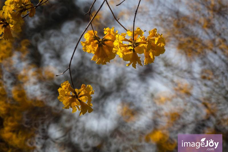 【南昌公園】拍出黃花風鈴木的 12 道風味 - 香港好去處 | 香港攝影景點 | ImageJoy