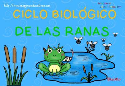 Ciclo biológico de las ranas para niños (2)