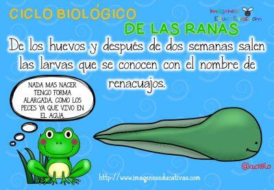 Ciclo biológico de las ranas para niños (4)