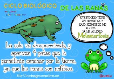 Ciclo biológico de las ranas para niños (5)