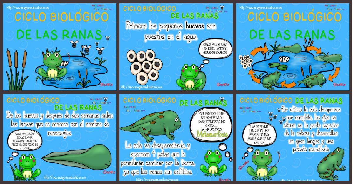 Ciclo Biológico De Las Ranas Para Niños Imagenes Educativas