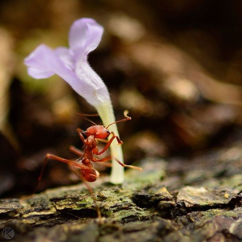 A leafcutter ant carries a flower back to the colony, on Barro