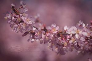 cherry tree blossoms pink