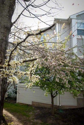 our house backyard cherry tree