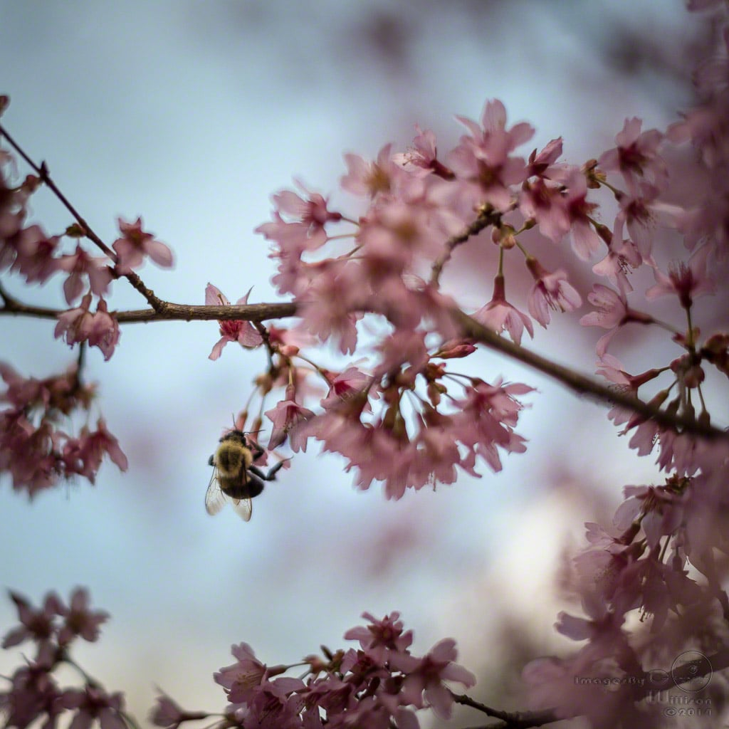 bee, cherry, blossom, spring