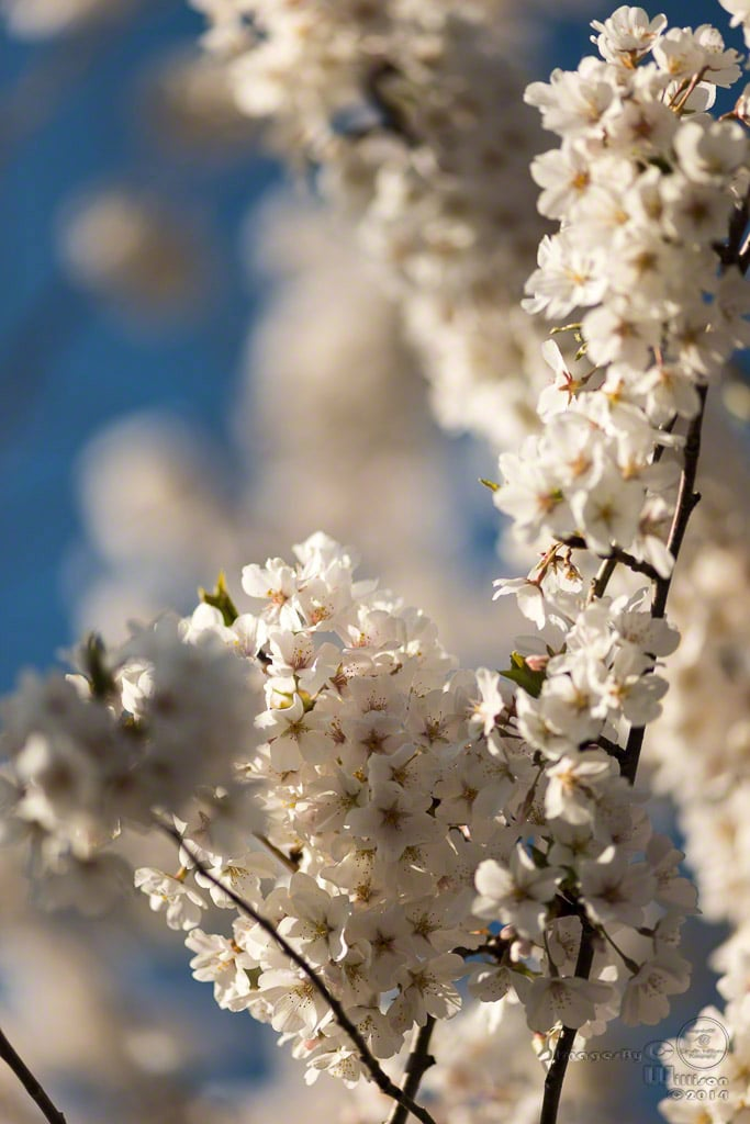 apple, blossoms, white, bokeh