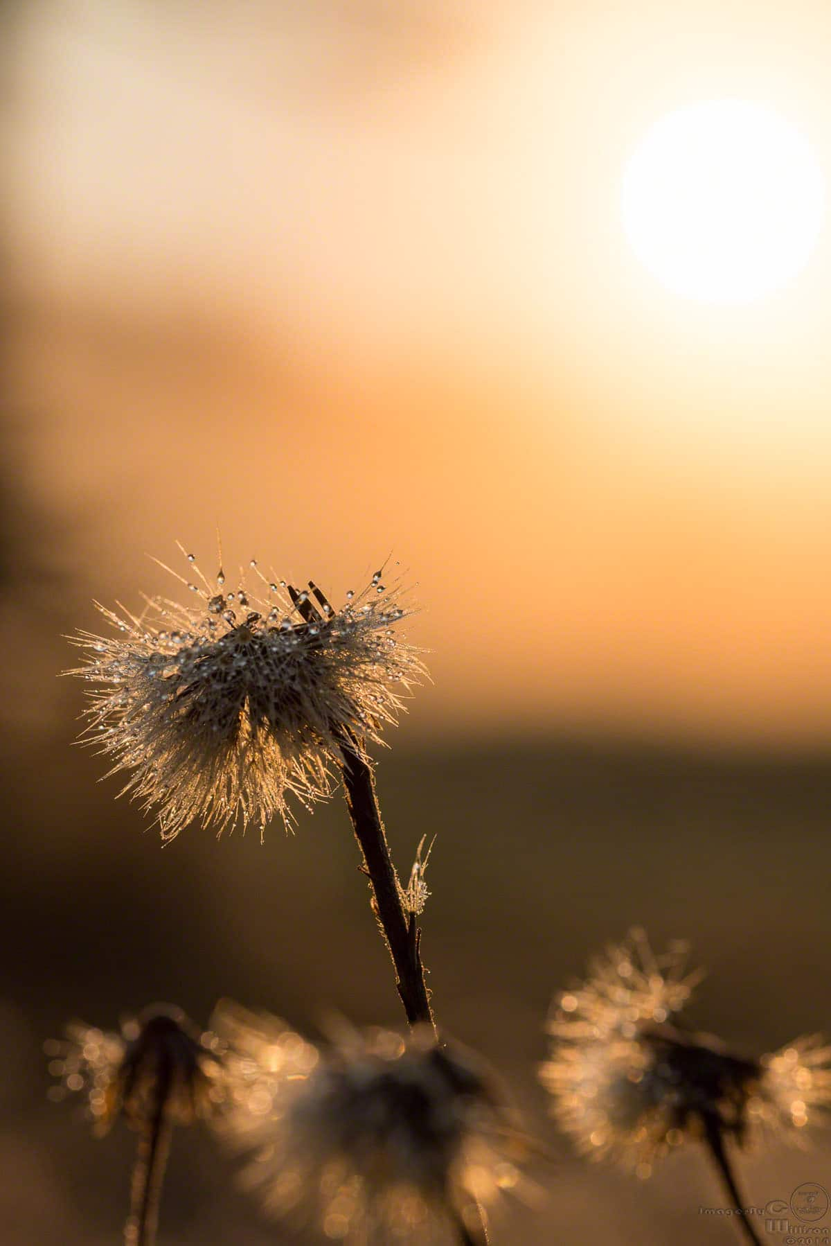 Thistle at sunrise