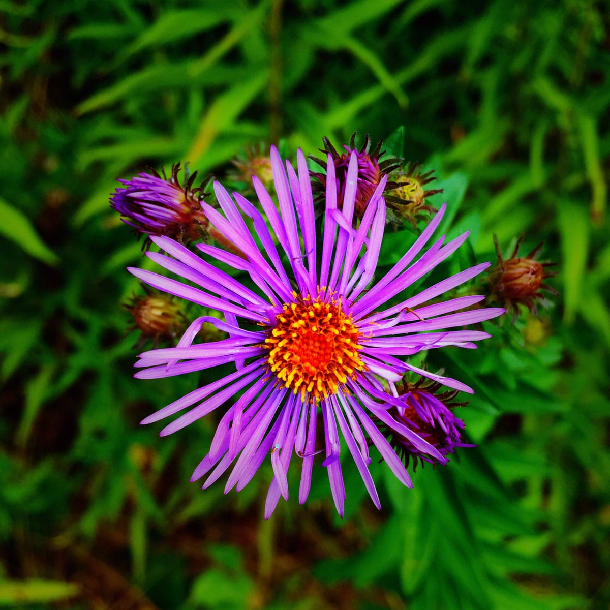 Purple fall flower
