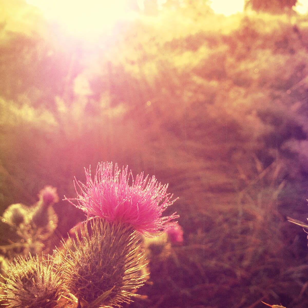 thistle, sunrise, sunbeams