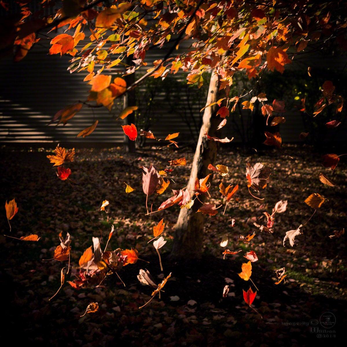 leaves, falling, autumn, fall, wind