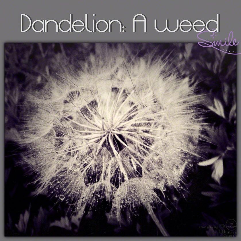 b&w, dandelion, monochrome