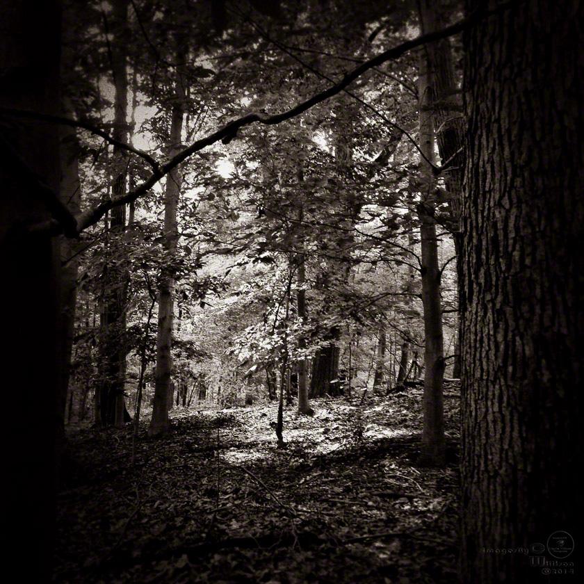 trees, woods, monochrome, b&w