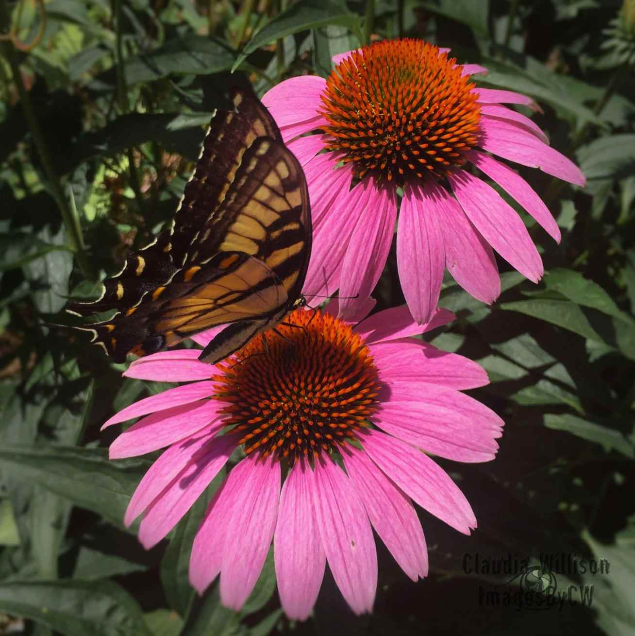 echinacea + butterfly