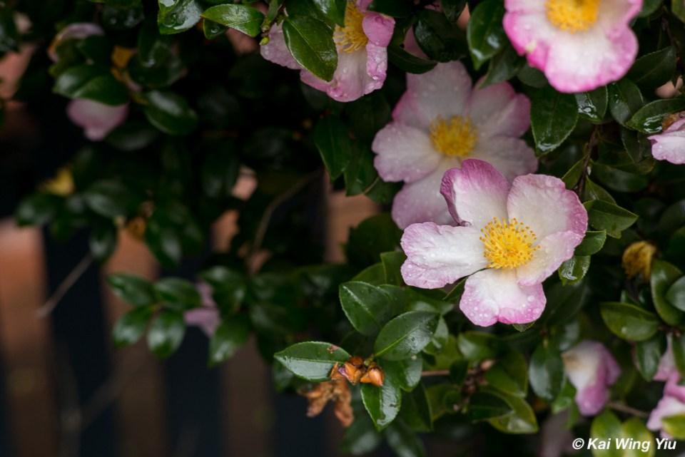 Camellia in rain