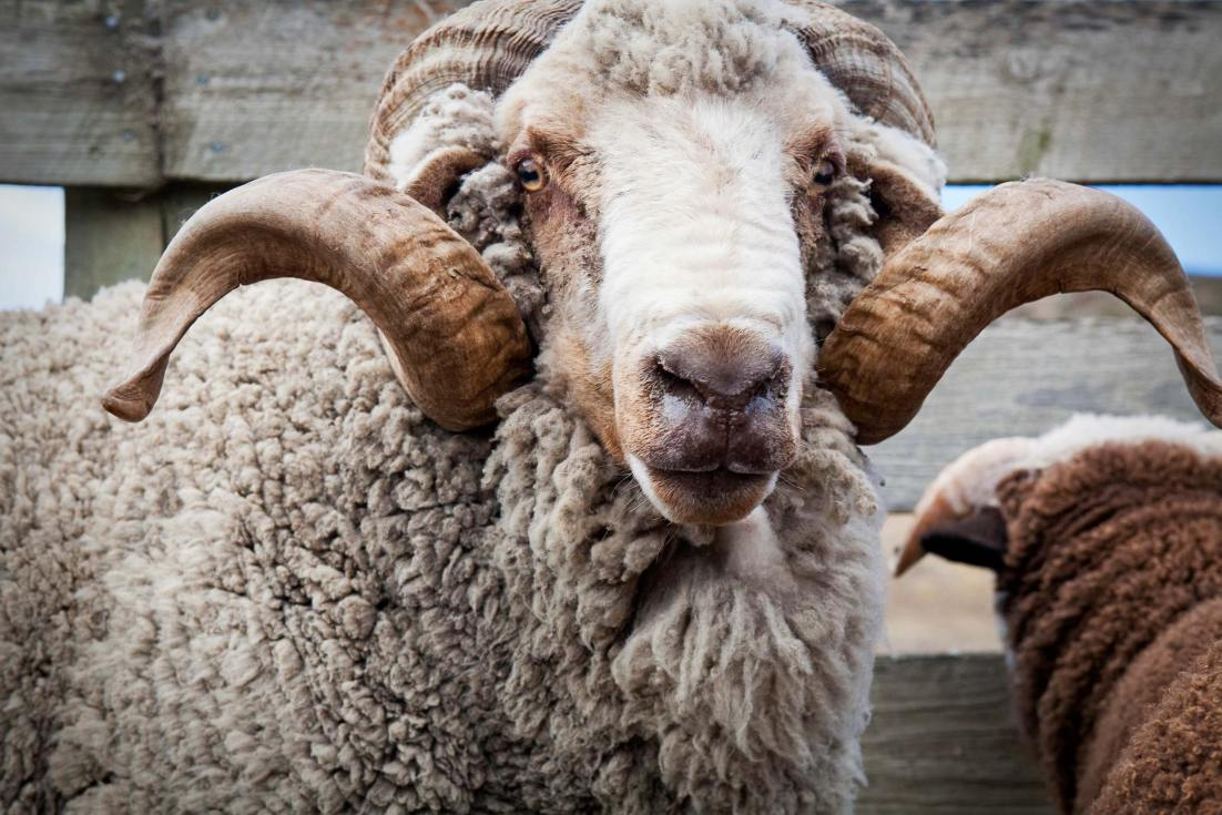 10014-1140-Image-Workshop-Melbourne-photographer-New-Zealand-merino-sheep-farm-wool-ram