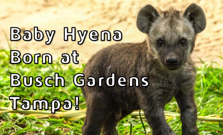 Baby Hyena at Busch Gardens Tampa Bay